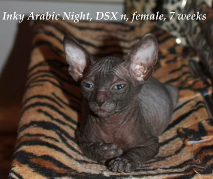 Inky Arabic Night, DSX n, female
